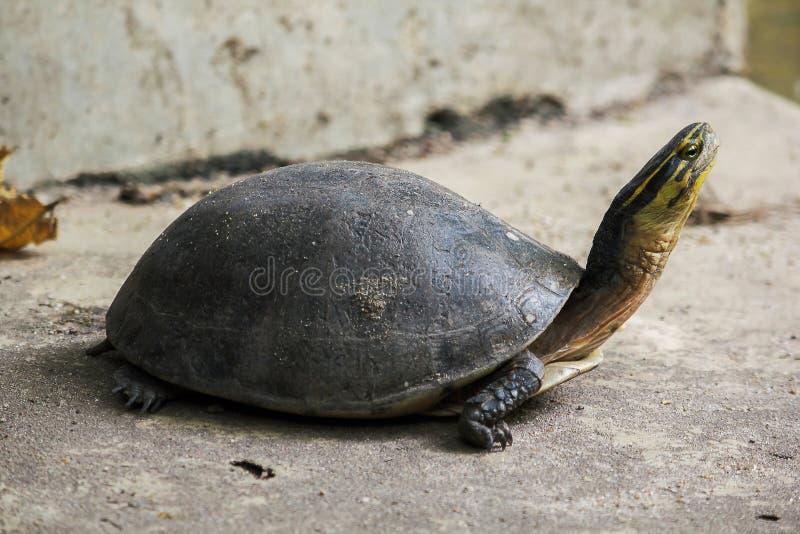 Siamese doosmoerasschildpad Gevormd als schildpadden, maar met hogere gebogen stock fotografie