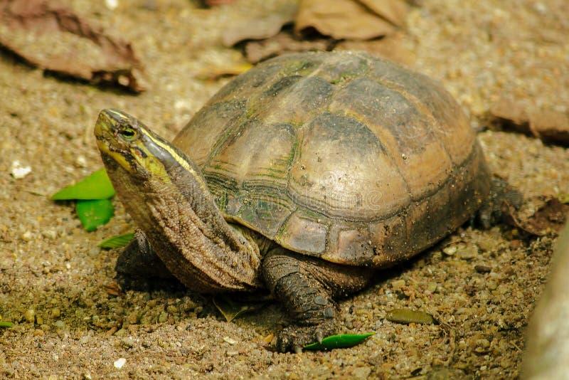 Siamese doosmoerasschildpad Gevormd als schildpadden, maar met hogere gebogen stock afbeelding