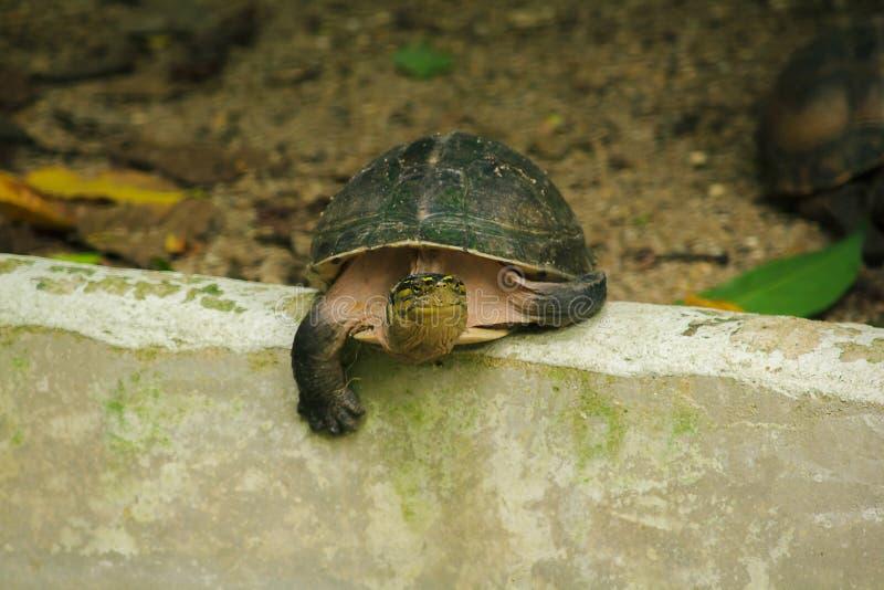 Siamese doosmoerasschildpad Gevormd als schildpadden, maar met hogere gebogen royalty-vrije stock fotografie