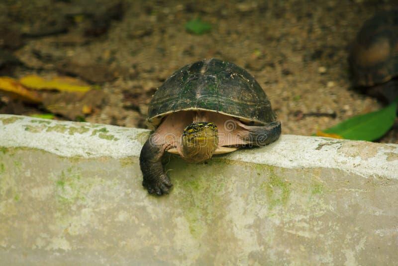 Siamese doosmoerasschildpad Gevormd als schildpadden, maar met hogere gebogen royalty-vrije stock foto