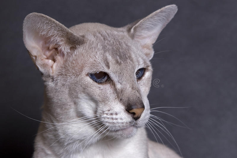 Download Siamese Face Royalty Free Stock Photography - Image: 13383137