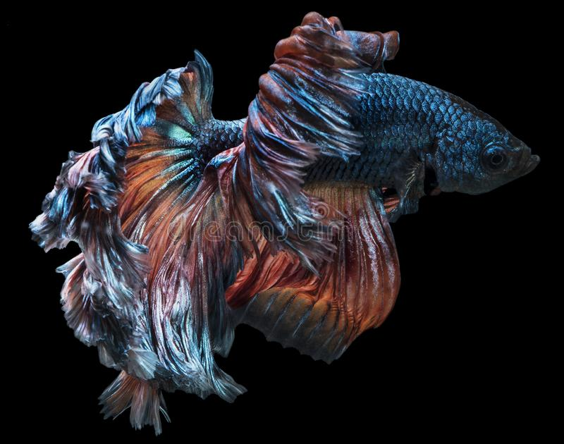 Siamese fighting betta Fish halfmoon movement in the tank. On darkness Background with clipping path stock images