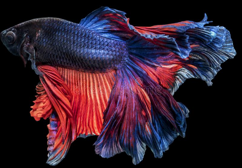 Siamese fighting betta Fish halfmoon movement in the tank. On darkness Background with clipping path royalty free stock photography