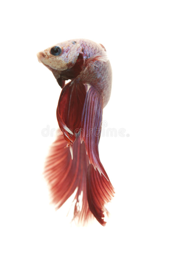 Siamese fighting fish. (Betta splendens) isolated on white background stock image