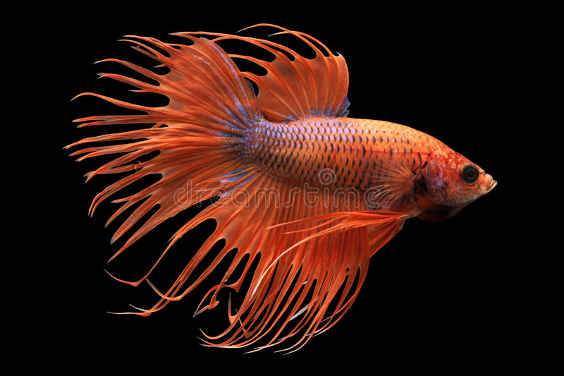 Siamese fighting fish. (Betta splendens) isolated on white background royalty free stock images