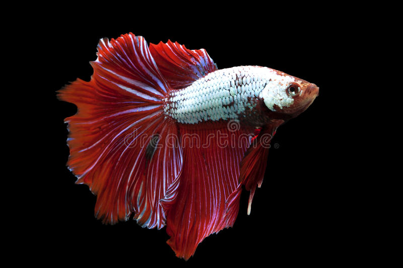Siamese fighting fish. (Betta splendens) isolated on white background royalty free stock photos