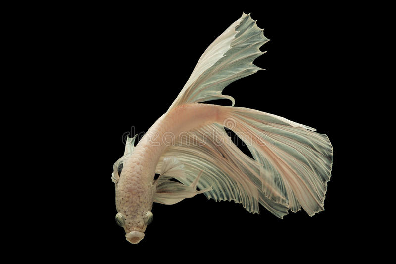 Siamese fighting fish. (Betta splendens) isolated on white background stock photos