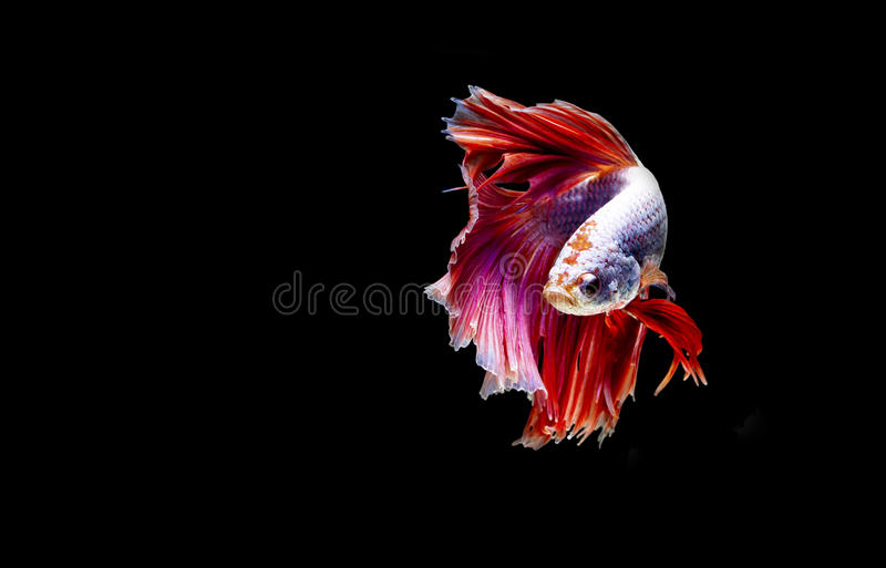 Siamese fighting fish in action, focus on left eye of the fish, closed-up with black background, DUAL ISO technique. Red betta f. Single siamese fighting fish stock photography