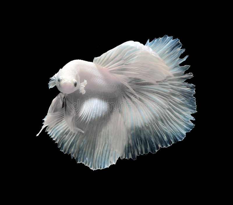 Siamese fighting fish, betta fish isolated on a black background. Siamese fighting fish, betta fish isolated on black background royalty free stock photography