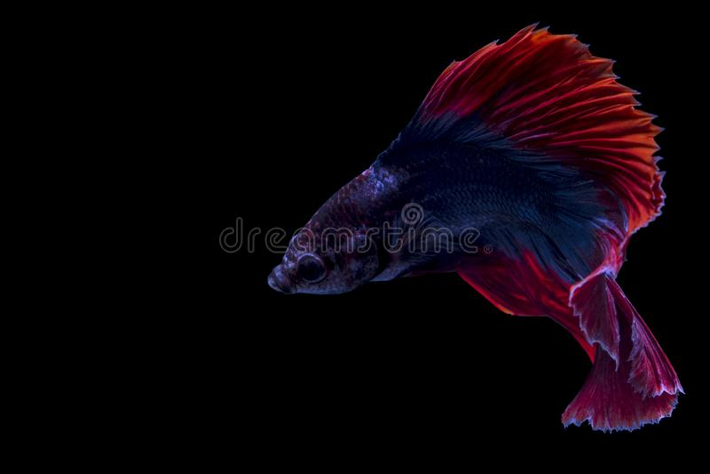 Siamese fighting fish, betta isolated on black background. Betta fish halfmoon blue red dragon in black background, animal, isolated, aquarium, nature stock photos