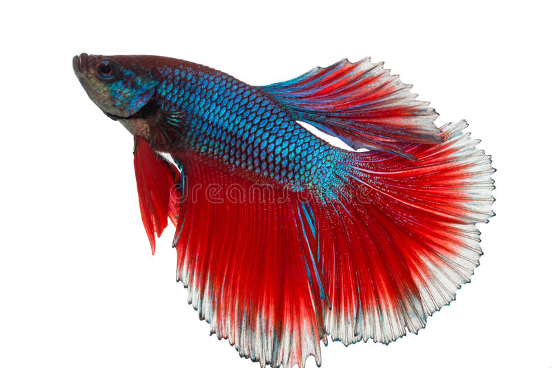 Siamese fighting fish , betta isolated on white with clipping path royalty free stock photography