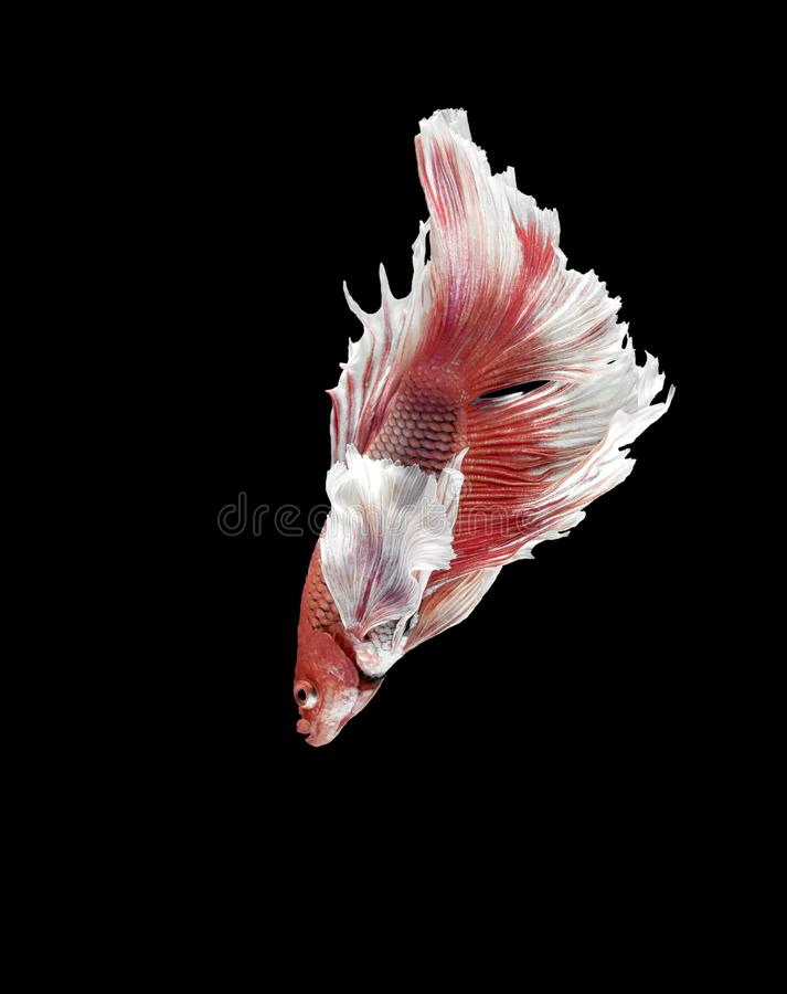 Siamese Fighting Fish, Betta splendens on black Background, Half Moon.  stock image