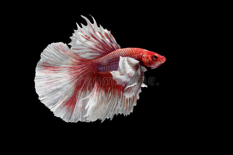 Siamese Fighting Fish, Betta splendens on black Background, Half Moon.  stock photos