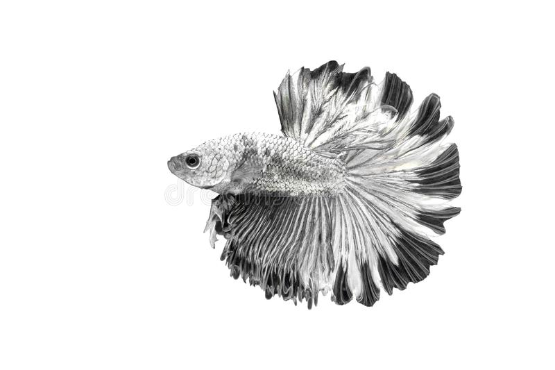 Siamese Fighting Fish , Betta splendens , Black and white on White Background, Half Moon, Crowntail royalty-vrije stock foto's