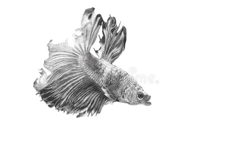 Siamese Fighting Fish , Betta splendens , Black and white on White Background, Half Moon, Crowntail royalty-vrije stock fotografie