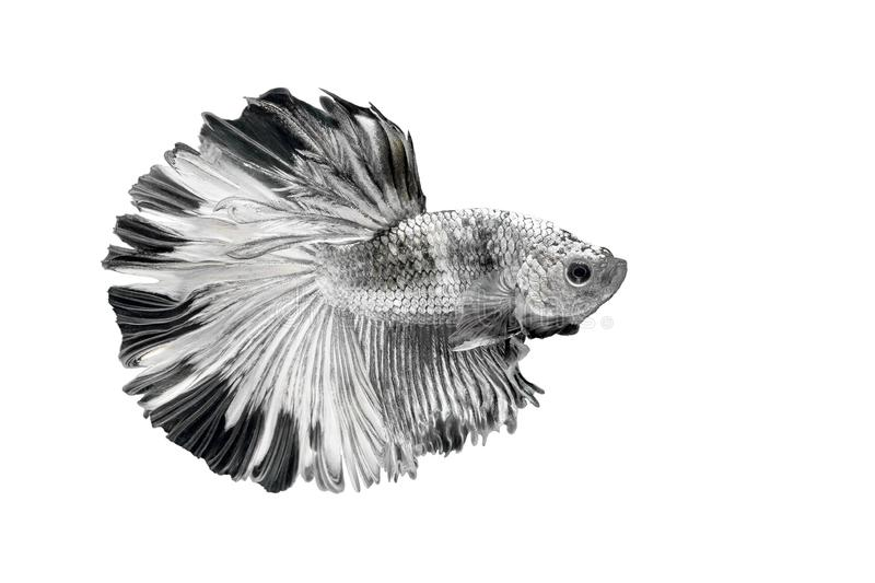 Siamese Fighting Fish , Betta splendens , Black and white on White Background, Half Moon, Crowntail.  stock photography