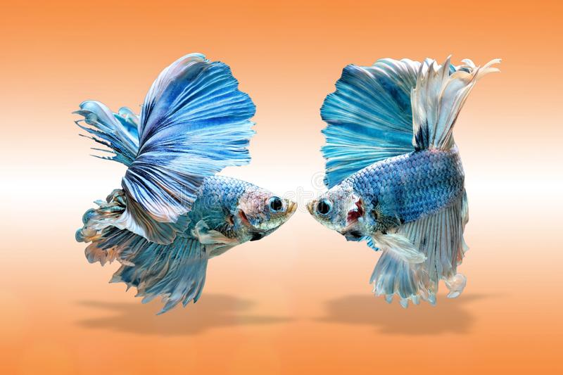 Siamese fighting fish, Betta splendens, blue fish on a gradient background.  royalty free stock photography