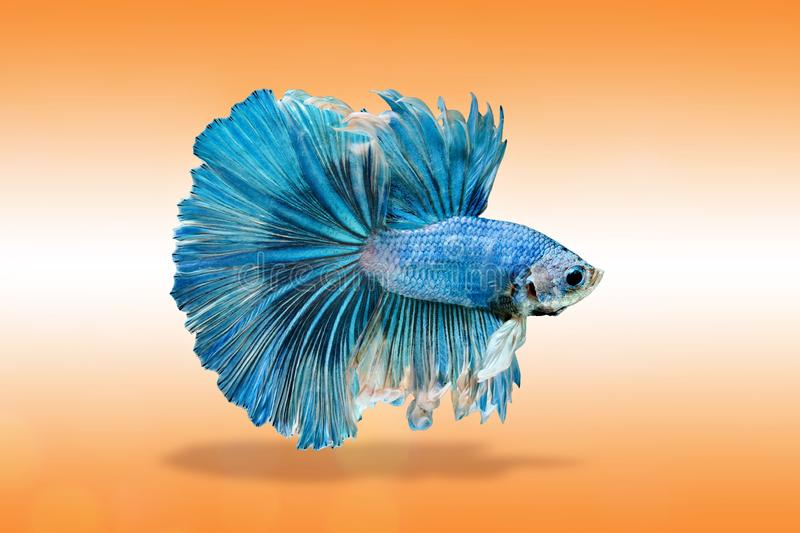 Siamese fighting fish, Betta splendens, blue fish on a gradient background.  royalty free stock images
