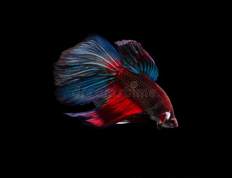 Siamese fighting fish (Betta splendens) stock photo