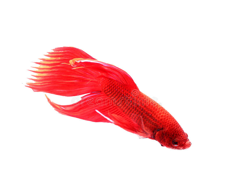 siamese fighting fish, betta splendens isolated on white background. stock images