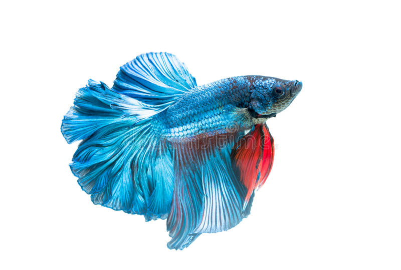 Siamese fighting fish, betta splendens isolated. On white background, it is popular as an aquarium fish royalty free stock images