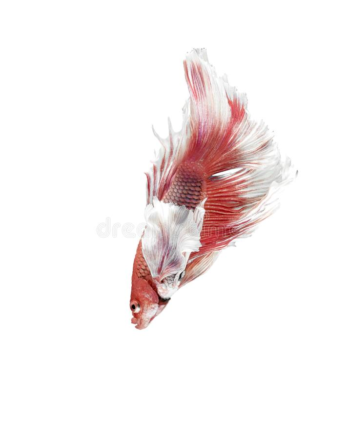 Siamese Fighting Fish, Betta splendens on White Background, Half Moon.  royalty free stock photo