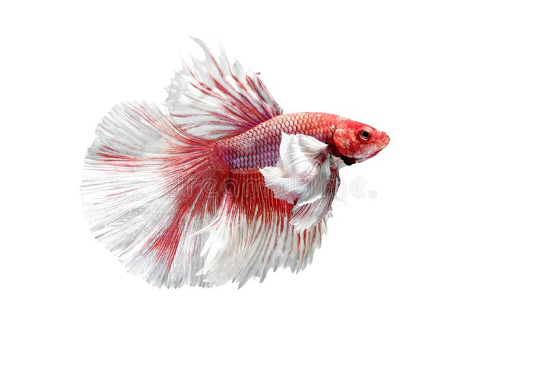 Siamese Fighting Fish, Betta splendens on White Background, Half Moon.  stock photo