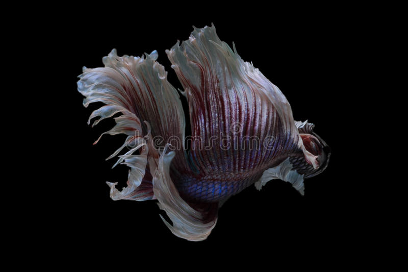 Siamese fighting fish Big Ear Dumbo Halfmoon Fancy Betta. With smooth movement stock photos