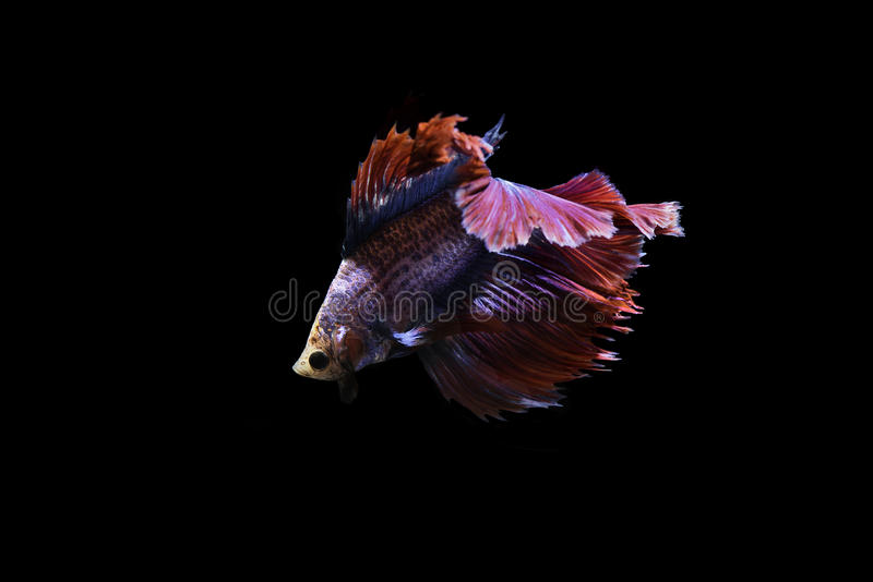 Siamese fighting fish on black background stock photo