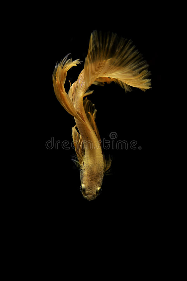 Siamese fighting fish on black background royalty free stock images