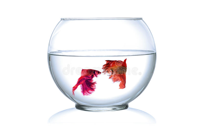 Siamese fighting fish in fish bowl, stock photos