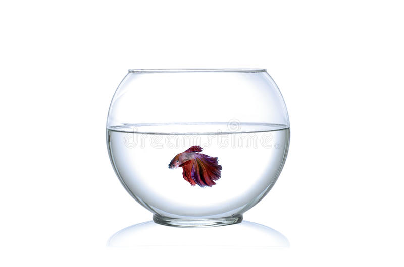 Siamese fighting fish in a fishbowl isolated on white background stock photos