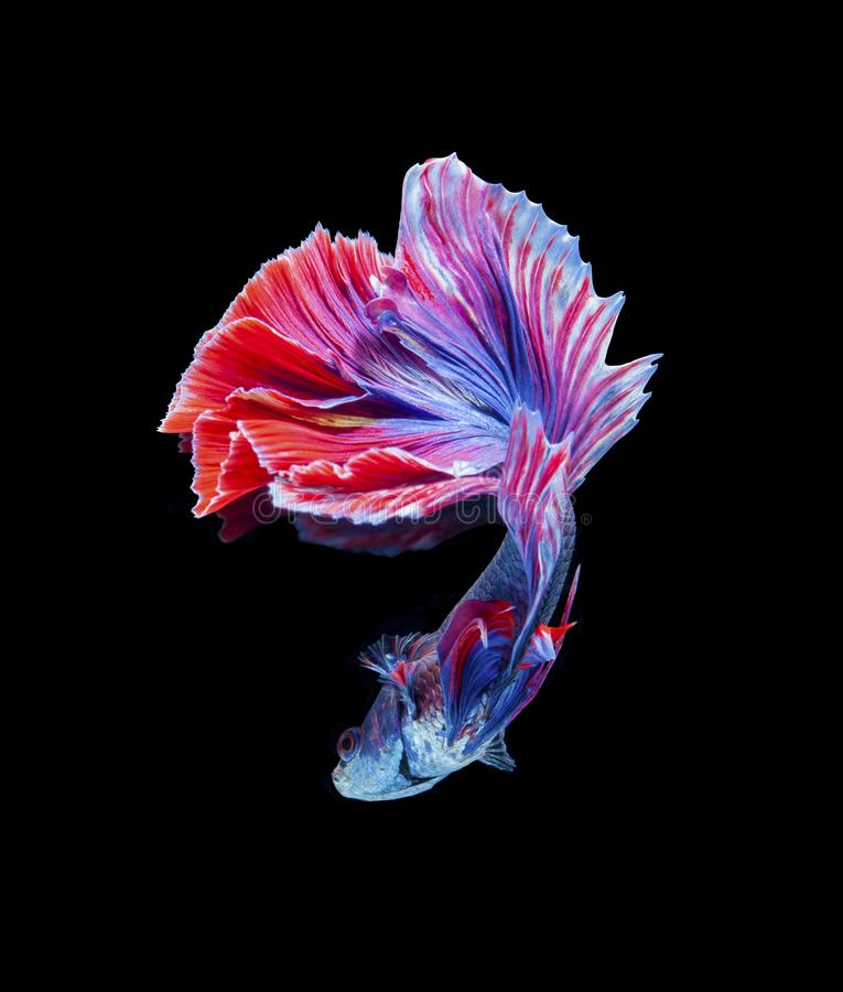 Siamese fighting fish,Half Moon long red tailHMPK,Betta splendens isolated on black background. stock photography