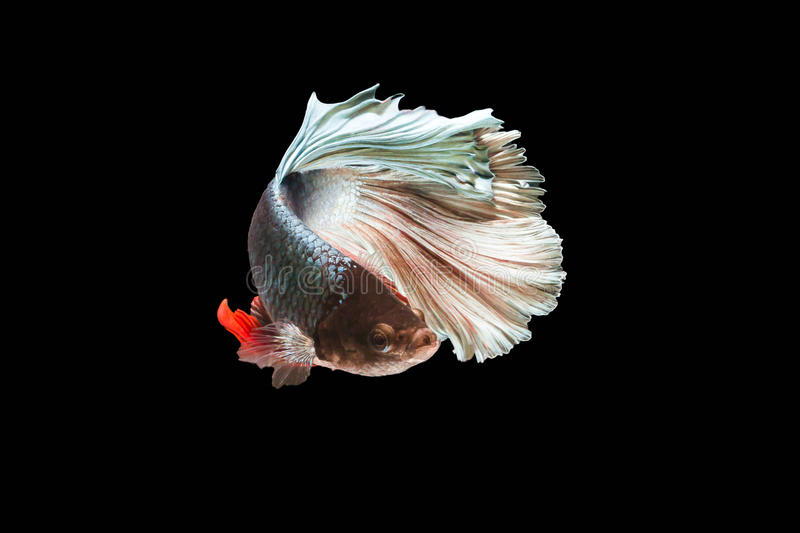 Siamese fighting fish isolated in black background. Betta Splendens royalty free stock image
