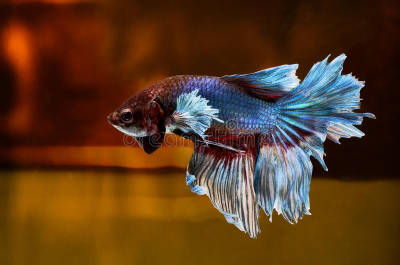 Siamese Fighting Fish on location royalty free stock photography