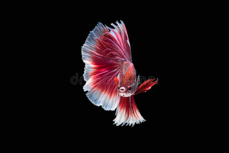 Siamese fighting fish, Ruby-White, betta fish on black background. royalty free stock photography