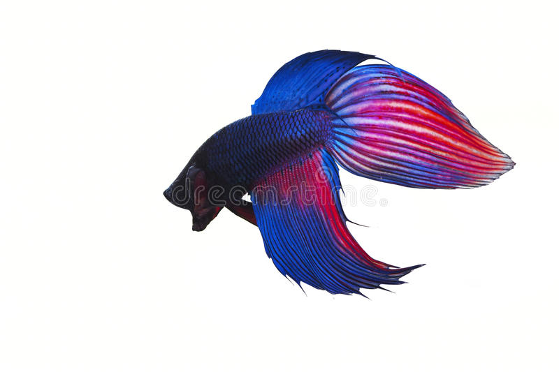Siamese fighting fish on white background stock photo
