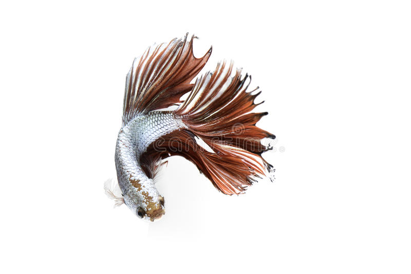 Siamese fighting fish on white background royalty free stock photography
