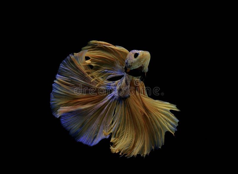 Siamese fisk för guling för stridighetfiskkamp med blått, Betta splendens, Betta fisk, Halfmoon Betta royaltyfria foton