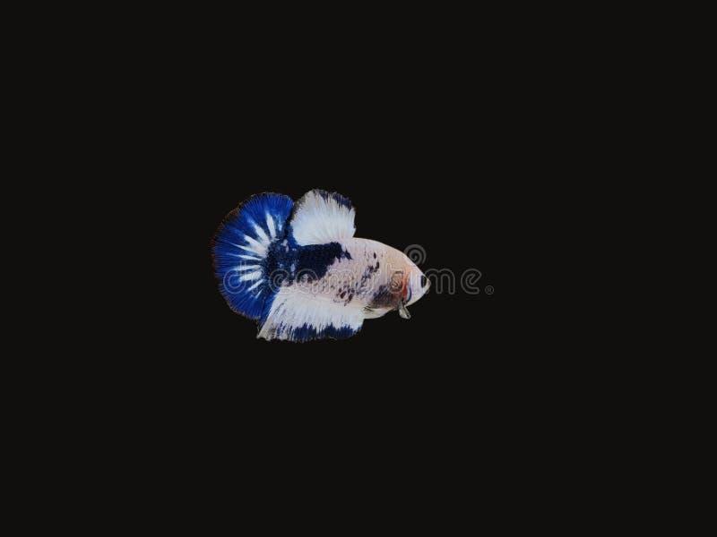 Siamese het Vechten vissen 'Buitensporige Halvemaan Betta ' royalty-vrije stock afbeelding