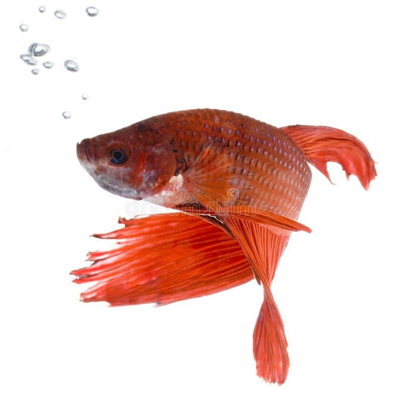 Siamese het vechten vissen stock foto