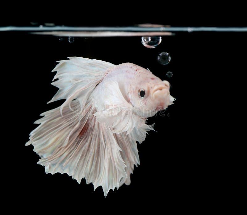 Siamese het vechten vissen royalty-vrije stock fotografie