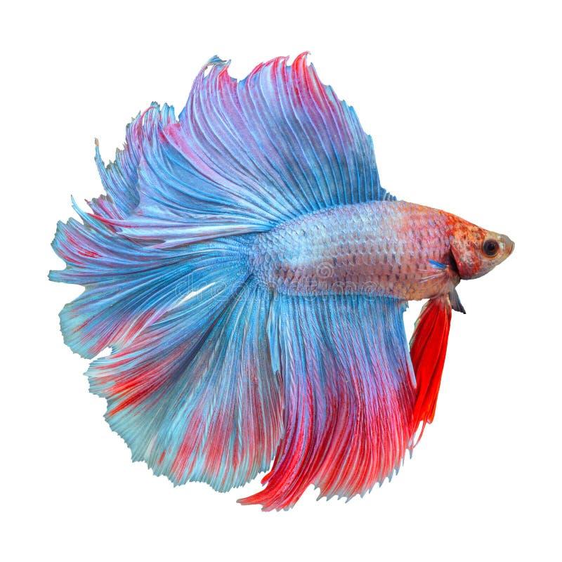 Siamese het vechten vissen stock foto's