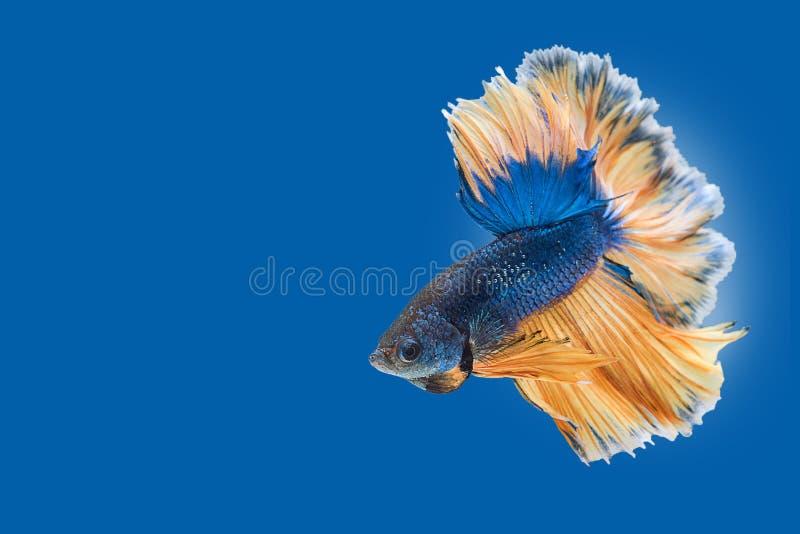 Siamese het vechten vissen royalty-vrije stock afbeelding
