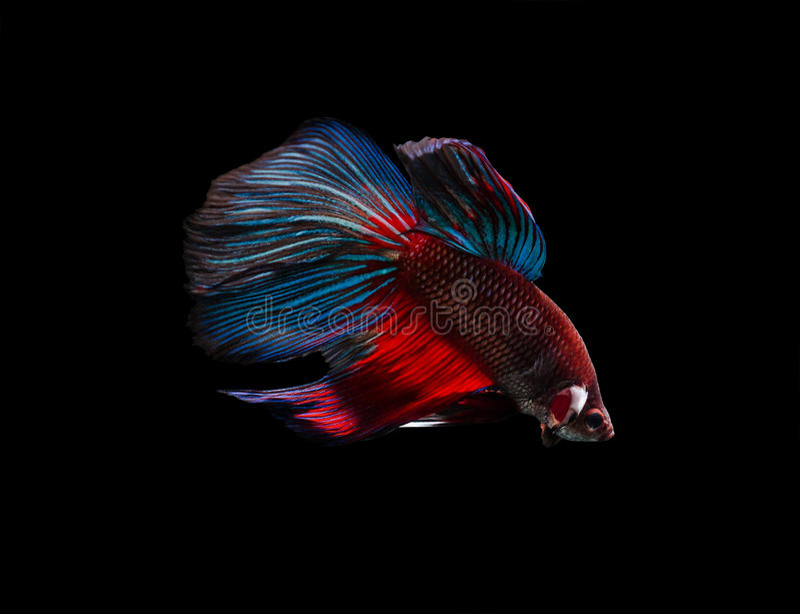 Siamese het Vechten Vissen (Betta Splendens) stock foto