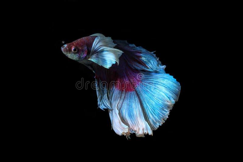 Siamese het vechten vissen, betta splendens op zwarte achtergrond wordt geïsoleerd die stock foto