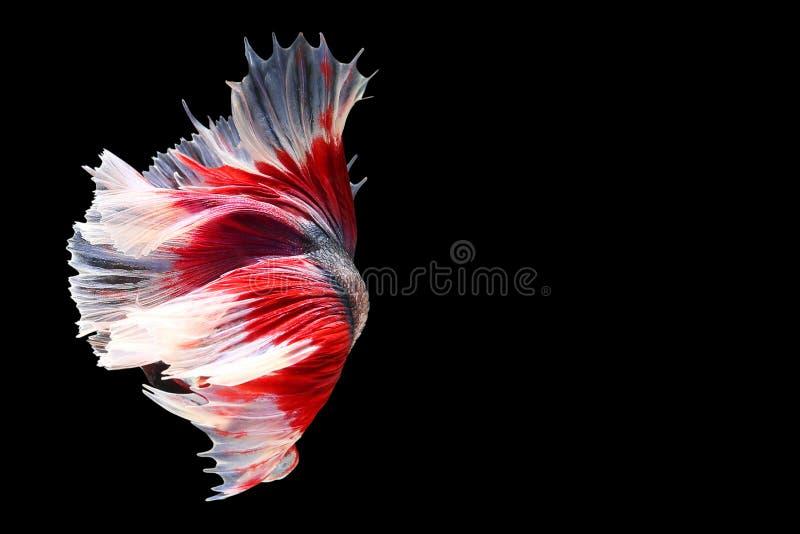Siamese het vechten vissen die op zwarte achtergrond worden geïsoleerdm Vissen drie c stock foto