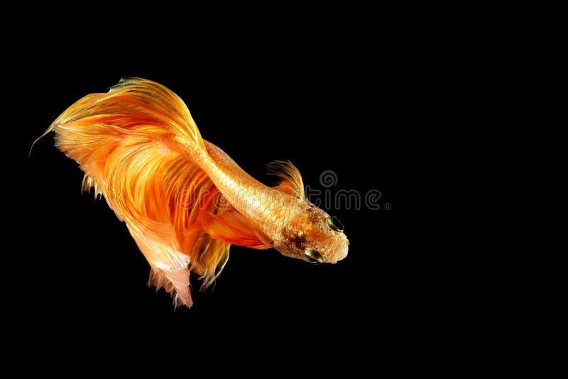 Siamese het vechten vissen die op zwarte achtergrond worden geïsoleerdm Vissen gouden kleur Betta Fish geel op zwarte Achtergrond royalty-vrije stock foto