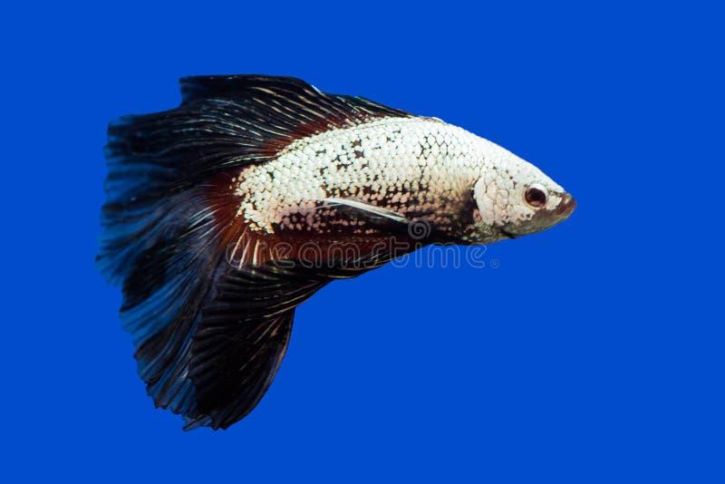 Siamese het vechten vissen op zwarte stock foto