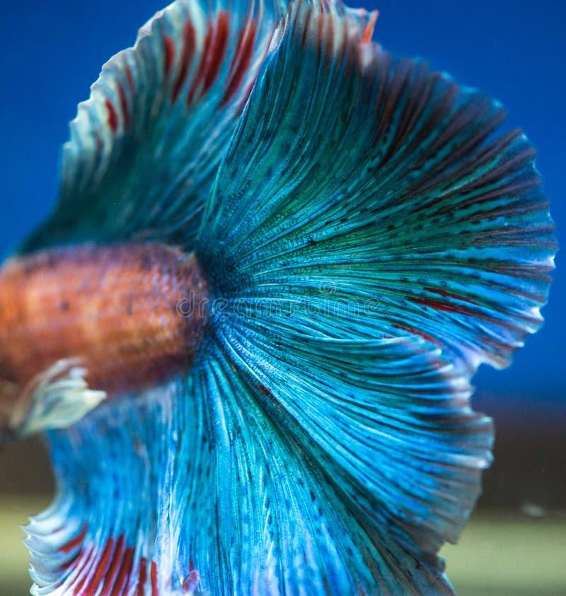 Siamese het vechten vissen op zwarte royalty-vrije stock foto